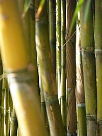 BambooWisley